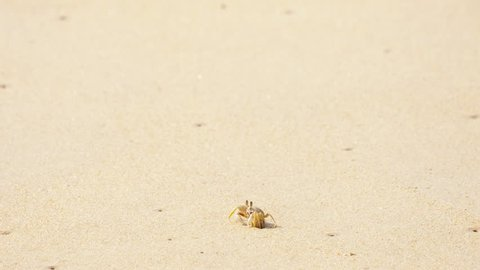 Ghost crab's, Horned Ghost Crab or Horn-eyed Ghost Crab (Ocypode ceratophthalmus) at sand on the beach