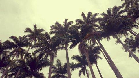 Royal tall palm trees, Rio de Janeiro, Brazil. Low angle shot