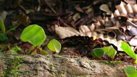 Leaf Cutter Ants (Atta sp.) carrying leaves and pieces of yellow flowers along a branch in the Ecuadorian Amazon.