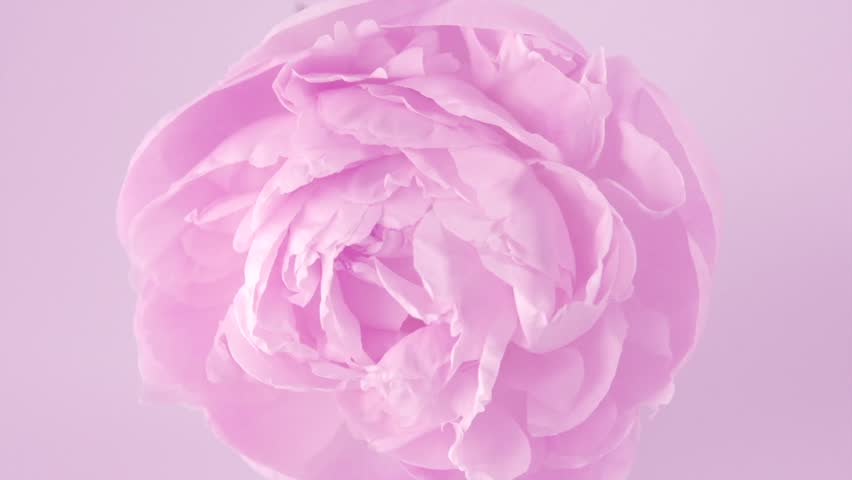 Beautiful pink Peony background. Blooming peony flower rotation, pink rose petals close-up. Wedding backdrop, Valentine's Day concept. Beauty spring romantic rose flower rotated 4K UHD video