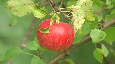 Scab apple trees. Close-up on a big red apple hanging from a branch. Fruits Infected by the Apple scab Venturia inaequalis.