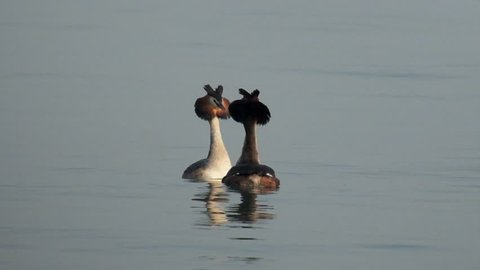 couple of Great crested grebe (Podiceps cristatus) mating