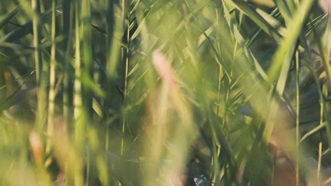 Close-up of reeds. Stock. Beautiful background of green reeds rustling in wind. Close - up of summer lush green vegetation. Warm sunlight illuminates green leaves of reeds
