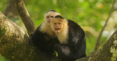 Angry monkeys. White-headed Capuchin, black monkey sitting on tree branch in the dark tropical forest. Wildlife of Costa Rica. Travel holiday in Central America. Open muzzle with tooth. Danger mammal.