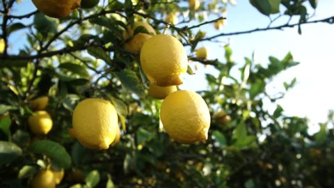 Close up Of lemons growing hanging on the lemon tree, Branches with ripe lemons. Beautiful sunny day