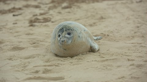 Gray seal pup Norfolk, UK on a sandy beach by the shore