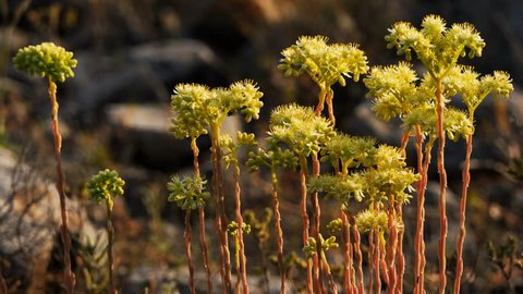 Sedum acre, commonly known as the goldmoss stonecrop, mossy stonecrop, goldmoss sedum, biting stonecrop and wallpepper