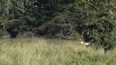 An impala runs and jumps at dawn in the savannah among other impala