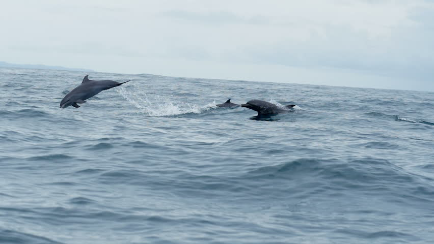 Group of dolphins swimming in tropical waters. Bottlenose dolphins swimming in the open Caribbean sea. Wild life fauna in Bocas del Toro islands in the Isla Bastimentos National Marine Park in Panama. #1022317492
