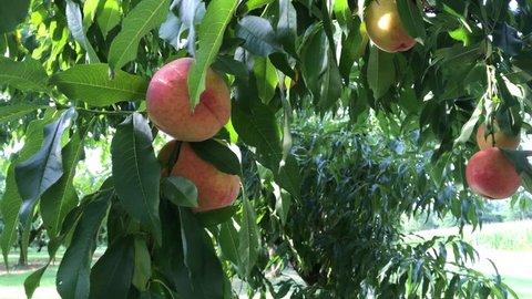 Ripe peaches on a tree.