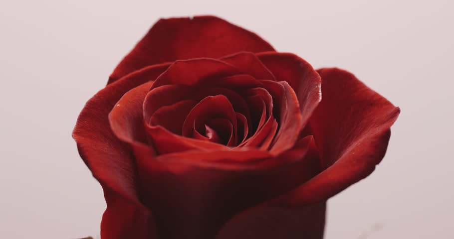 Single rose on white background.  | Shutterstock HD Video #1022459932