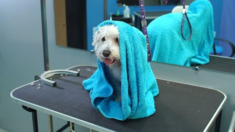 Close-up of a wet a dog Bichon Frise wrapped in a blue towel on a table at a veterinary clinic. Care and care of dogs. A small dog was washed before shearing, she's cold and shivering. Slow motion.