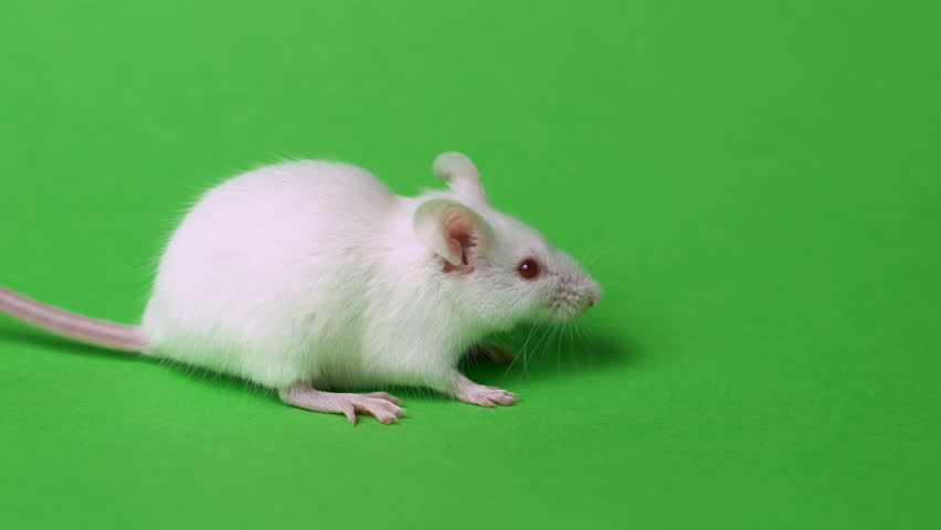 funny rat washing himself green screen #1022619502