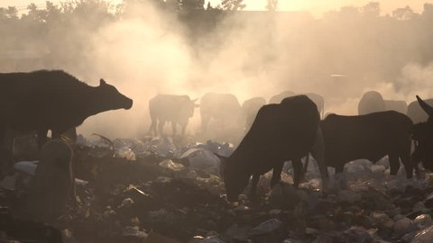 Cattle and pigs grazing among burning plastic at rubbish dump in Uttarakhand, India