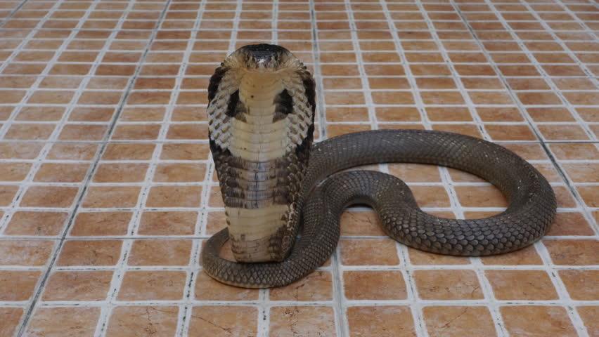 Cobra snake on the floor  | Shutterstock HD Video #1022689942