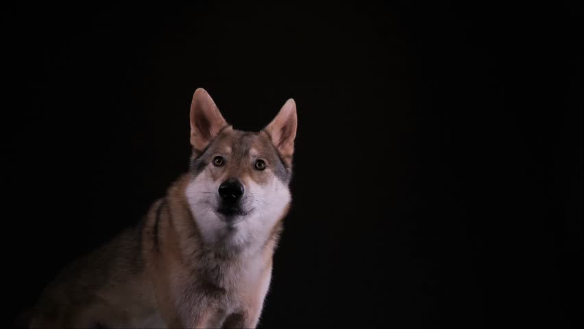 A hybrid of german shepherd and wolf, called wolfdog, is howling in the studio with black background, 2 takes with audio