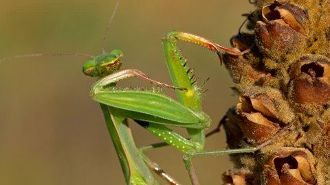European praying mantis (Mantis religiosa) cleaning itself