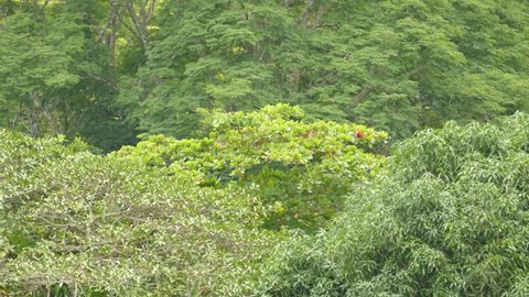 Shot 2/3 of Scarlet Macaw parrots feeding in far away tree for a long time