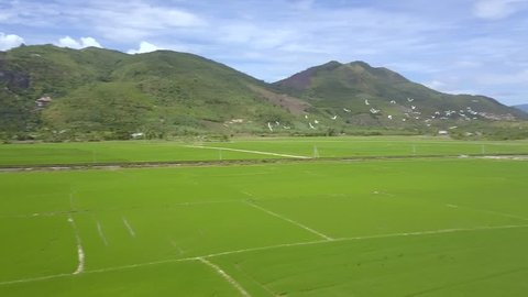 Aerial shot bird flock flying over rice field on mountain landscape. Rice plantation in Asian village. Farming and agriculture concept. Natural landscape from above