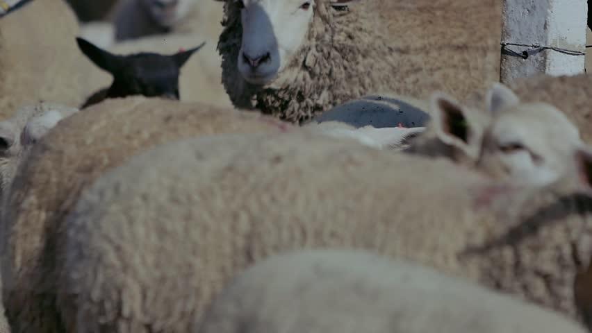 Sheep on field farm    Shutterstock HD Video #1022989192