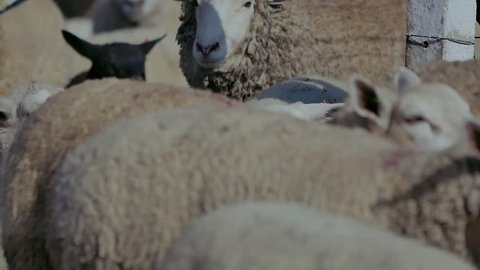 sheep on field farm