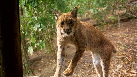 Angry eurasian lynx (Lynx lynx) threatening