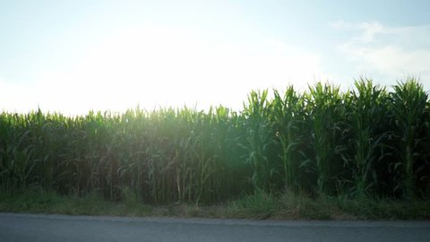 Pan of tall corn stalks in a field during a bright sunrise