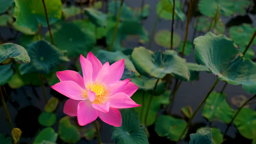 Pink Lotus Flower Or Water Lily Background Design Stock Footage Of