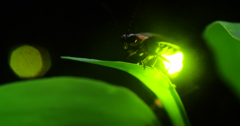 The glimmer of a firefly. | Shutterstock HD Video #1023236482
