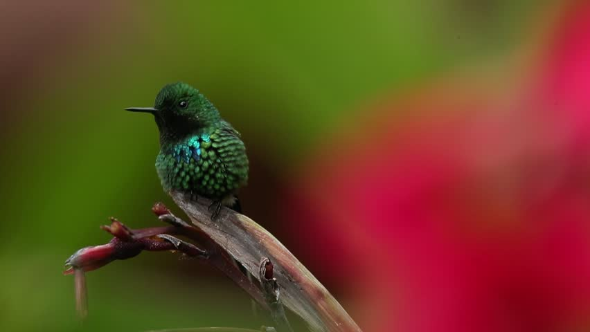 Nice hummingbird Green Thorntail (Discosura conversii) with blurred pink and red flowers in background, La Paz, Costa Rica | Shutterstock HD Video #10232402
