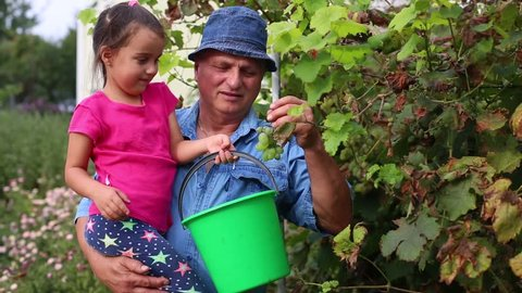 Vintners picking organic grapes for wine from vineyard in autumn harvest, family business