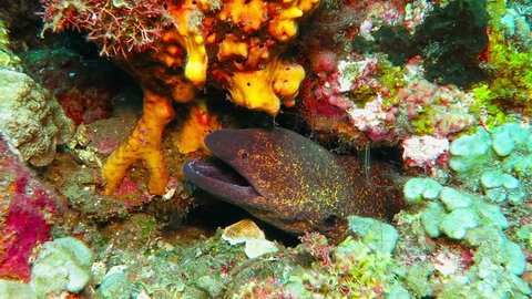 Moray eel on the tropical reef. Underwater video with wild sea animal. Scuba diving with aquatic life. Eel (Muraenidae) and corals. Underwater animal, detail of the head and jaws.