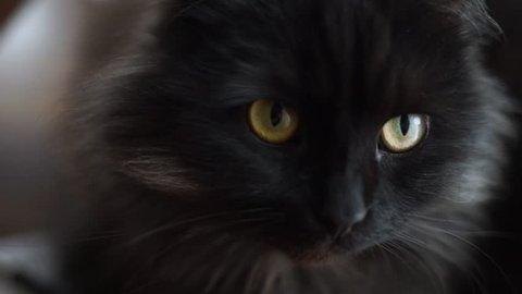 Animals. Pet. Cat eyes close-up. Black furry cat looking at the camera. The beautiful black cat looks surprised. Black cat looks up.Kitten playing with the hostess.