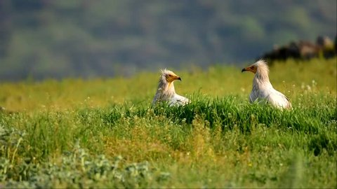 Egyptian Vulture couple during the breeding season. Egyptian vulture's exclusive footage. The Egyptian Vulture walks high up in the green meadow mountain.