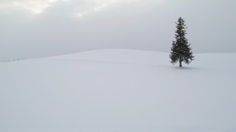 Lone pine tree under snowfall in Biei, Hokkaido, Japan