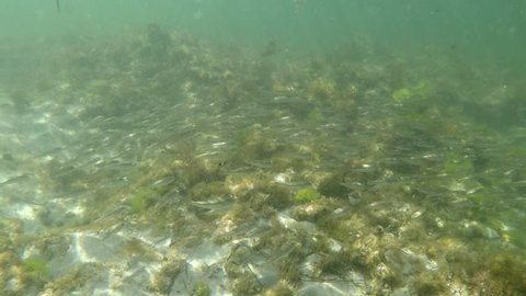 Cove, Cottesloe, Perth, Western Australia - February 3, 2019: A school of blowfish swim in unison over the reef within the Cottesloe Fish Habitat Protection Area