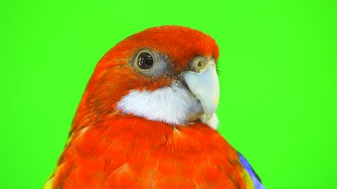 portrait rosella parrot isolated on green screen