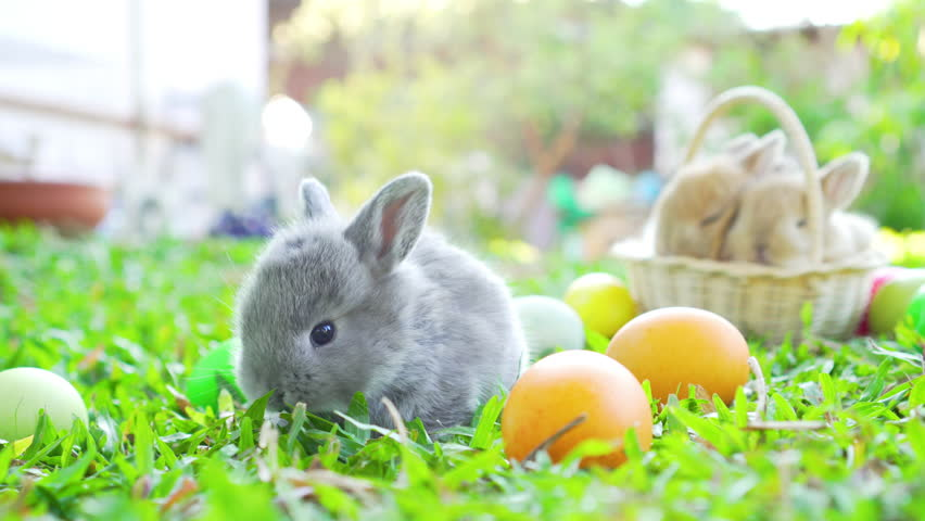 Adorable little brown easter bunny holland lop eating a grass, at near Easter eggs. Close up shot, 4K UHD | Shutterstock HD Video #1023677212