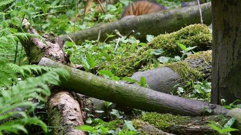 European polecat (Mustela putorius) foraging / hunting in forest