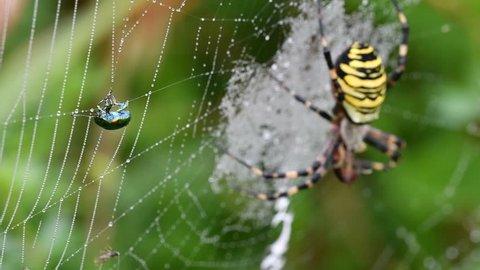 Wriggling dead-nettle leaf beetle (Chrysolina fastuosa) caught in Wasp spider's (Argiope bruennichi / Aranea brünnichii) spiral orb web