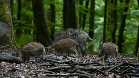 Wild boar (Sus scrofa) sounder with piglets foraging in forest in spring