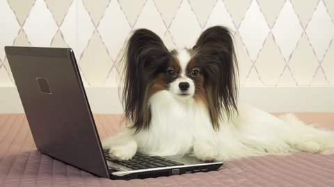 Papillon dog is lying near the laptop on the bed stock footage video