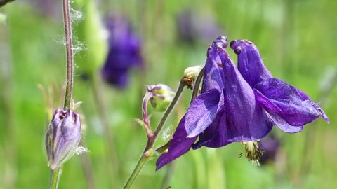 European columbine / Common columbine / Granny's nightcap / Granny's bonnet (Aquilegia vulgaris) in flower