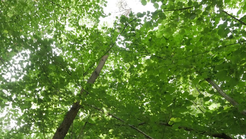 Steadicam POV perspective looking straight up at deciduous trees in forest while walking. | Shutterstock HD Video #1024059182