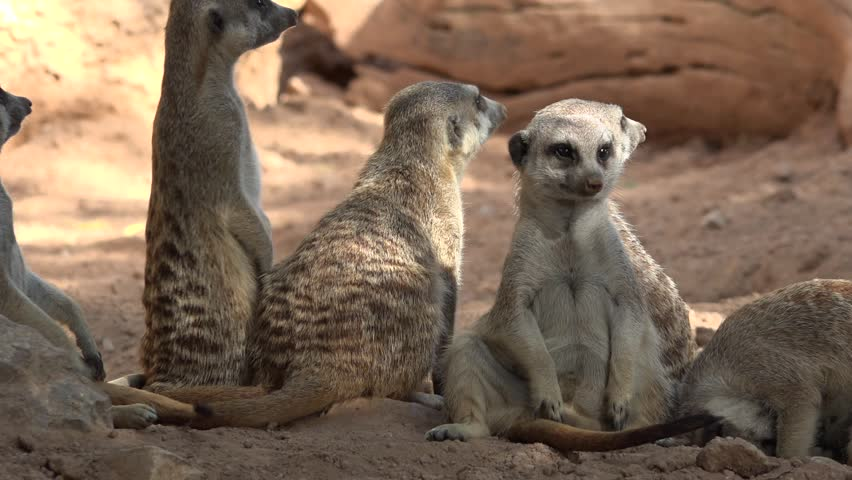 A Wild Animals Meerkats #1024262252
