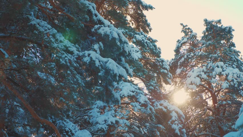 Tree tops winter pine snow branch sunlight glare winter landscape during sunset. Tree tops on a cloudy winter day. winter pine the sun forest in the snow sunlight movement. frozen frost Christmas New | Shutterstock HD Video #1024279082