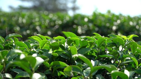 4K Video footage close up dolly shot of fresh green tea plant and leaves at tea plantation that growth at highland in the morning sunlight with blurred bokeh background.