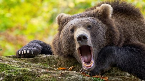 Brown bear (Ursus arctos) yawning