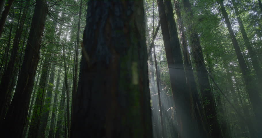 Sun Streams through Forrest Trees Camera Tracks Across | Shutterstock HD Video #1024645862