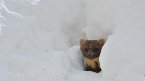 Curious pine marten (Martes martes) looking through gap in the snow while hunting in winter